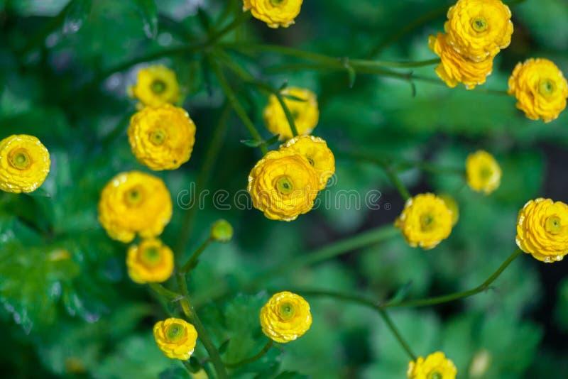 Kwiecisty tło z żółtymi dekoracyjnymi kwiatami Ogrodowy jaskier obraz royalty free