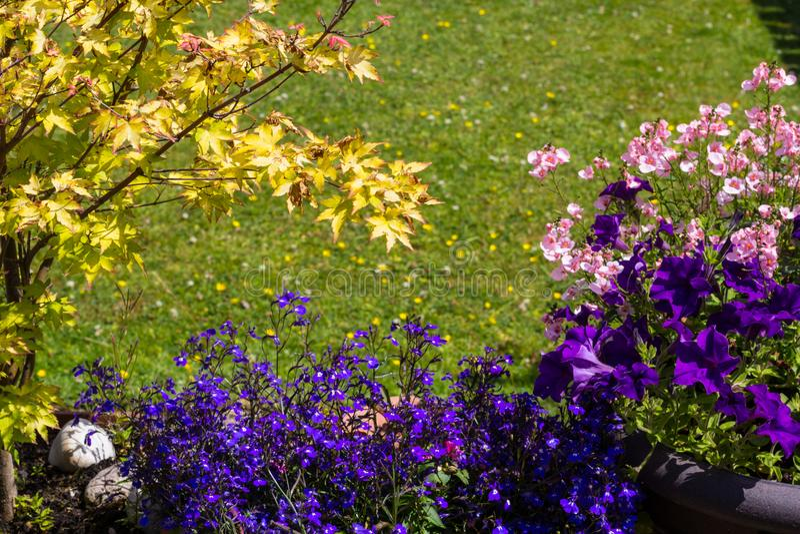 Kwiecisty tło z błękitną lobelią, różowym nemesia i Japońskim klonem, zdjęcie stock