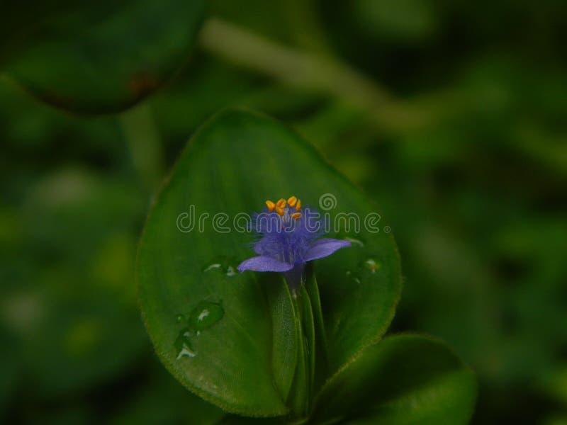 kwiecisty wildflower trzykrotki tradeskanci genus zdjęcie stock