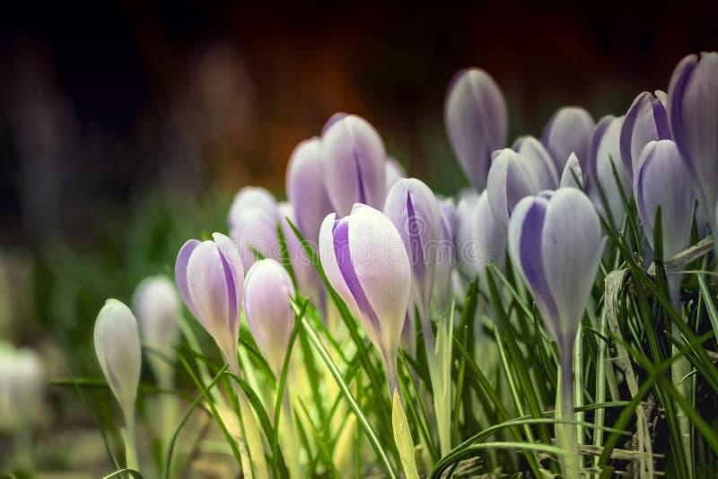 Kwiecisty wiosny natury krajobrazu bez kwitnie w łące Marzycielski delikatny wizerunek zmierzch w lasowej Miękkiej ostrości obrazy stock
