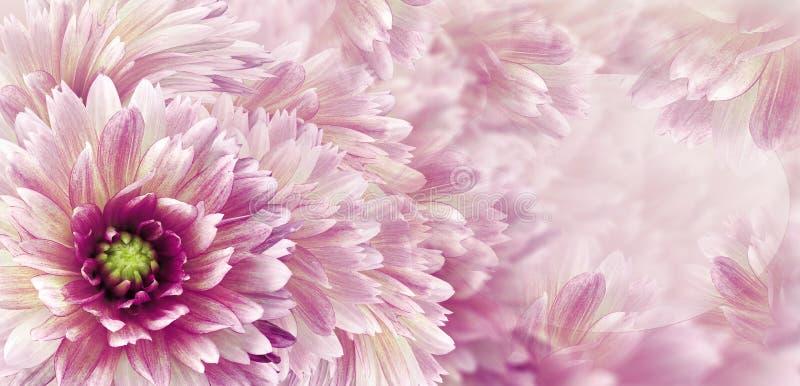 Kwiecistych purpur piękny tło Kwiaty i p?atki rewolucjonistki dalia Zako?czenie t?a sk?adu powoju kwiatu tulipany bia?y kartka z  fotografia stock