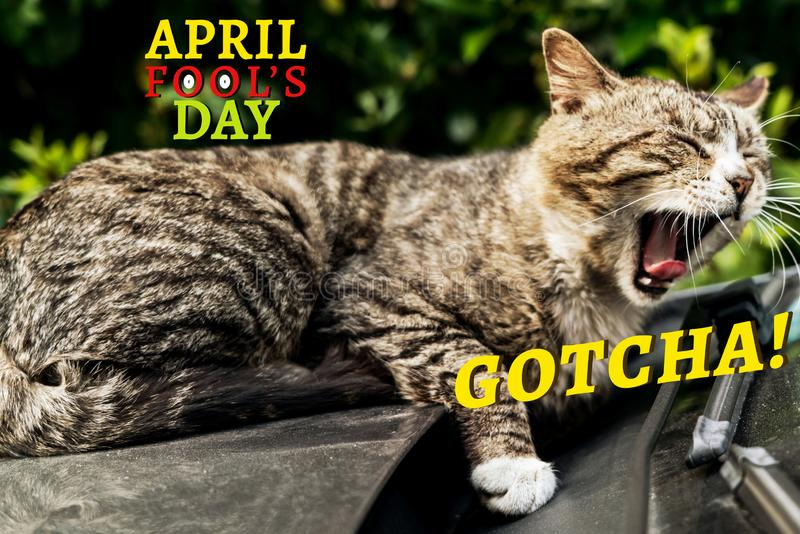 Kwietni durni dzień, Gotcha, brązowić pasiastego kota wrzask obrazy stock