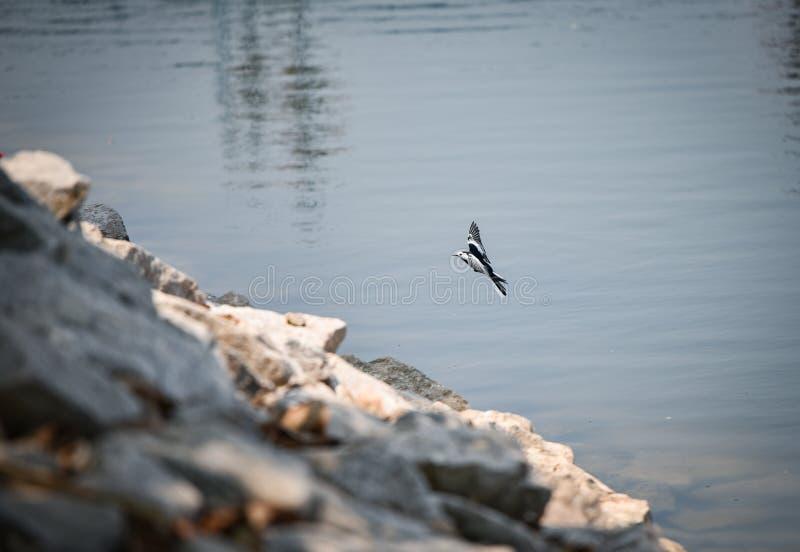 Kwikstaartvogel royalty-vrije stock afbeelding