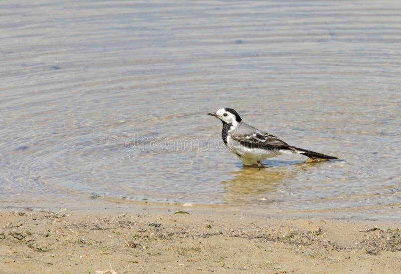 Kwikstaartvogel royalty-vrije stock foto