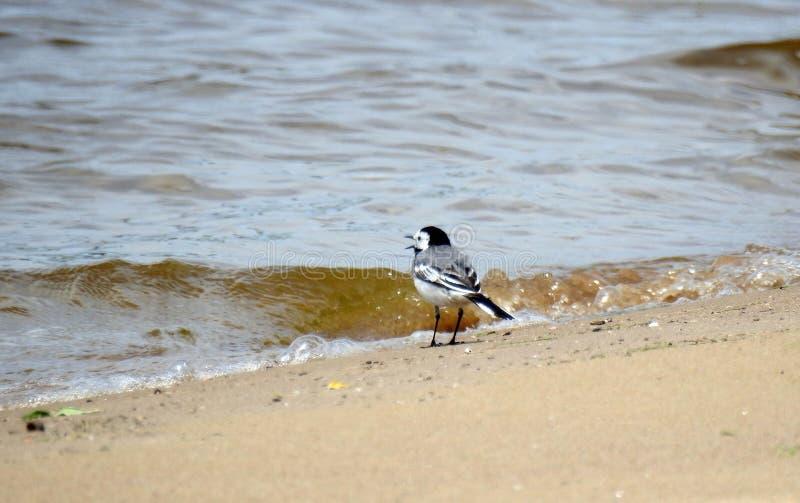 Kwikstaartvogel stock fotografie