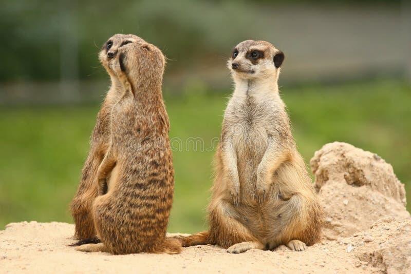 Kwinta toczy wewnątrz meerkats społeczności fotografia royalty free