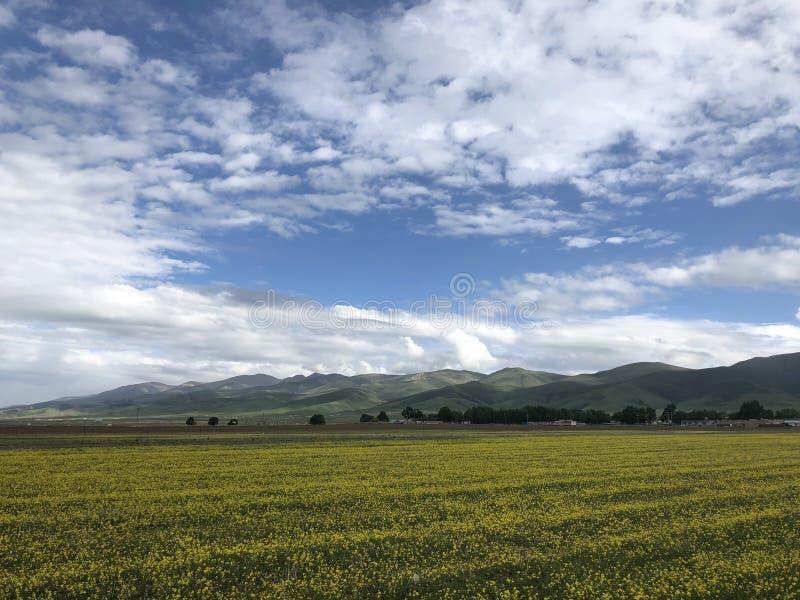 Kwitnąć rapeseed pole Qianghai jeziorem zdjęcia stock