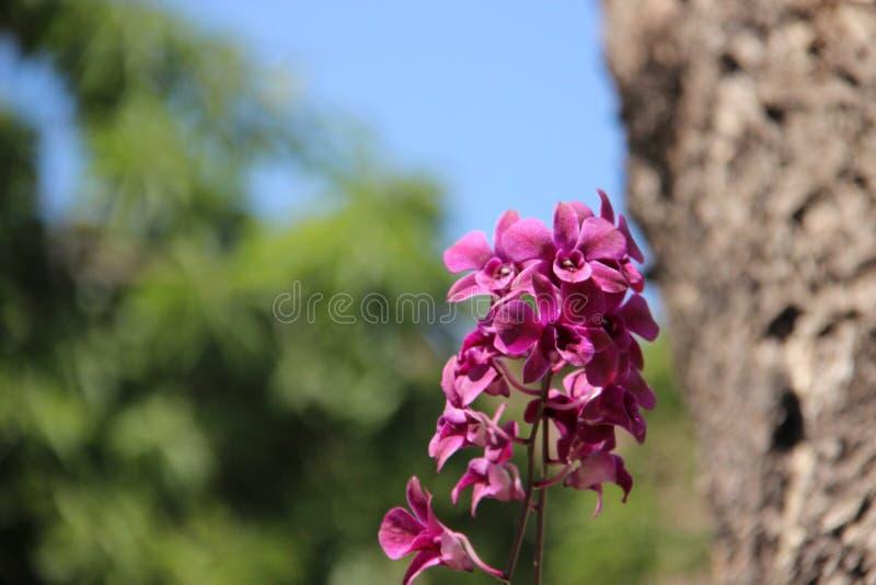Kwitnąca purpur menchii orchidea Z Drzewnymi barkentynami fotografia stock