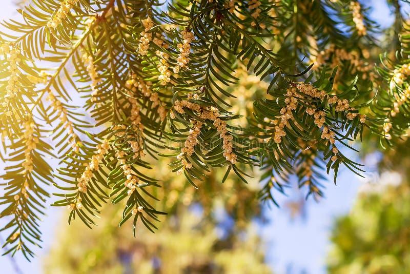 Kwitnący cisowy drzewo z małym round kolorem żółtym kwitnie pod światłem słonecznym przeciw niebieskiemu niebu obraz stock