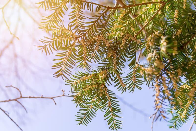Kwitnący cisowy drzewo z małym round kolorem żółtym kwitnie pod światłem słonecznym przeciw niebieskiemu niebu obrazy stock