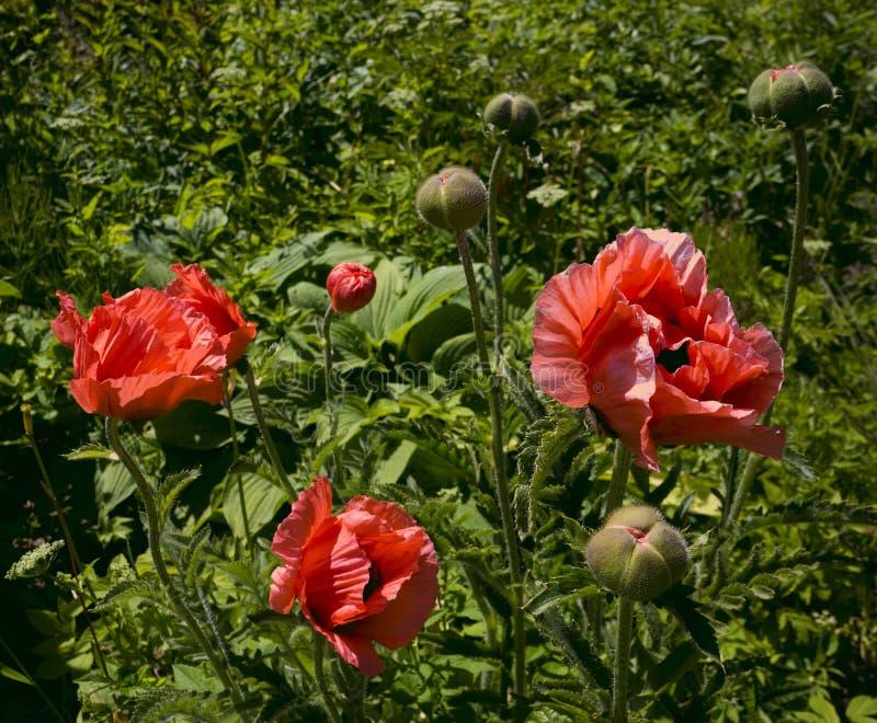 Kwitnący czerwoni maczki na trawy tle fotografia stock
