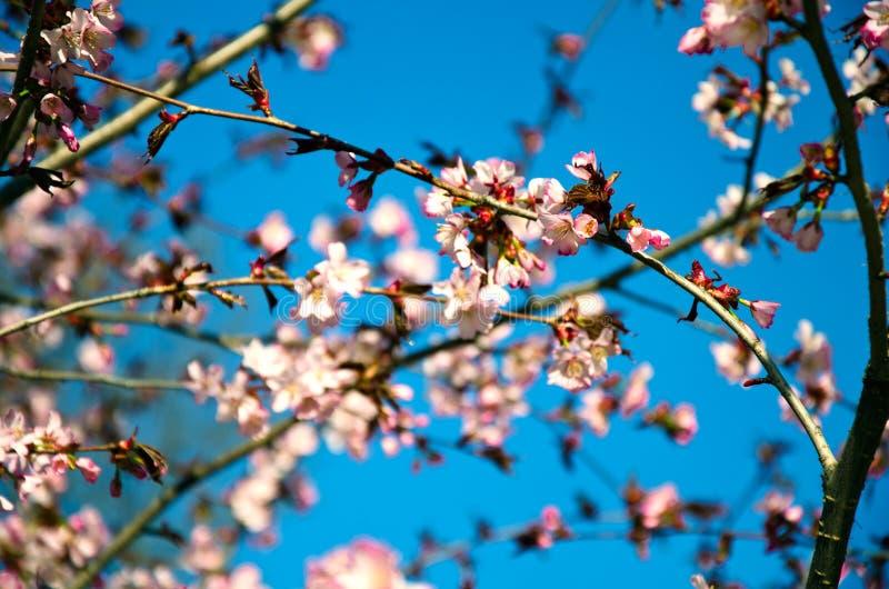 Kwitnący gałąź czereśniowi okwitnięcia przeciw niebieskiemu niebu - wiosna nastrój zdjęcia stock