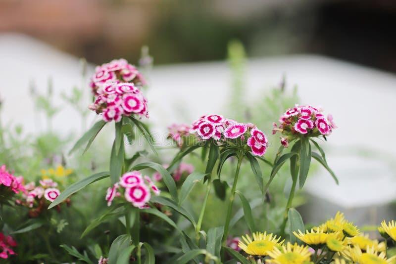 kwitnący goździk chwały kwiatu Dianthus caryophyllus zdjęcie royalty free