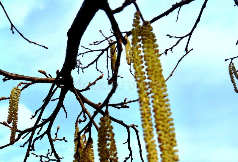 Kwitnący hazelnut drzewo z niebieskim niebem fotografia stock