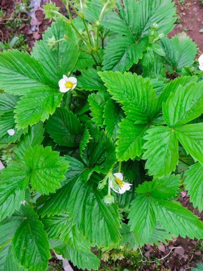Kwitnący krzaka ogrodowa truskawka na ogrodowym łóżku, zdjęcie royalty free