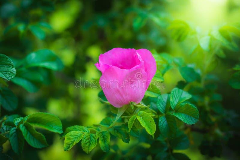 Kwitnący różowy eglantine wiosny dzień obraz royalty free
