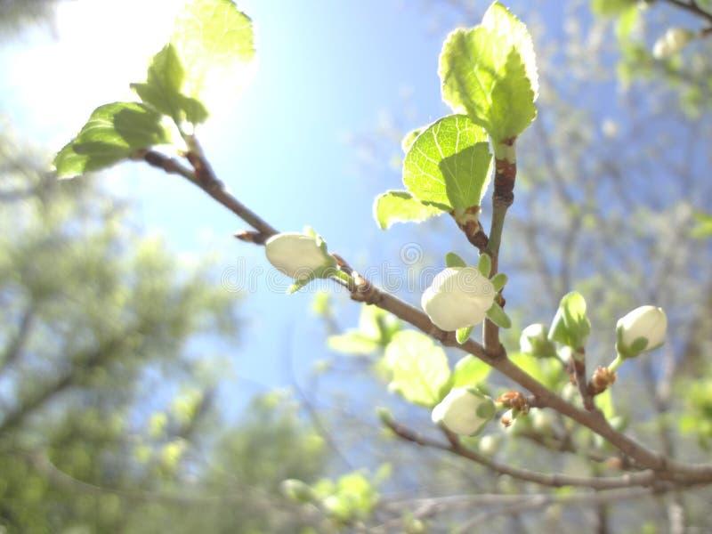 Kwitnąć śliwkowi drzewa zdjęcia royalty free