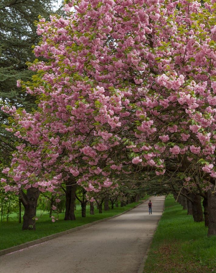 Kwitnąć aleję wiśnia fotografia stock