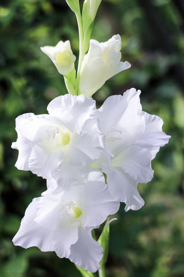 Kwitnąć biały gladiolus w wiośnie na zielonym tle zdjęcia stock