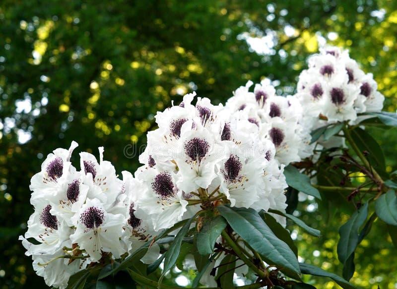 Kwitnąć białych różaneczniki na pięknym tle zdjęcia royalty free