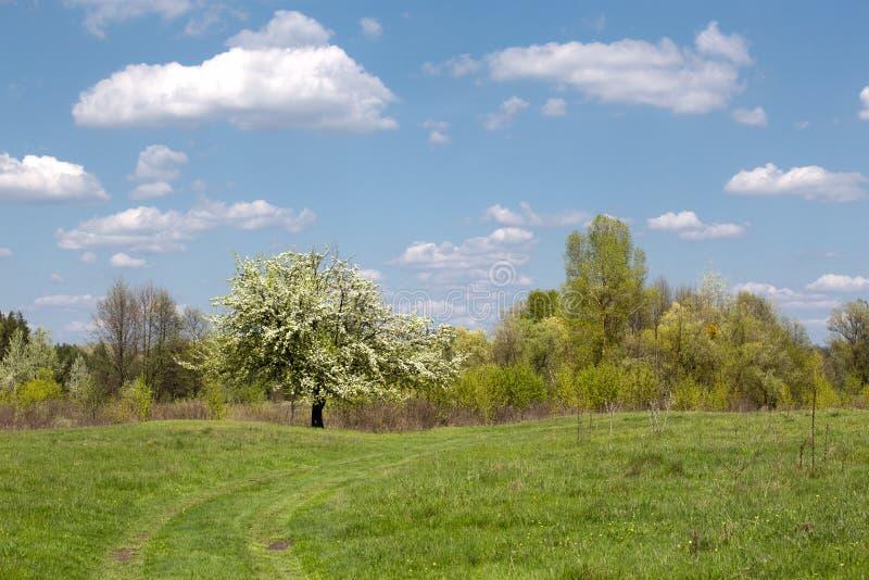 Kwitnąć bonkrety drzewa na zielonej łące zdjęcia stock