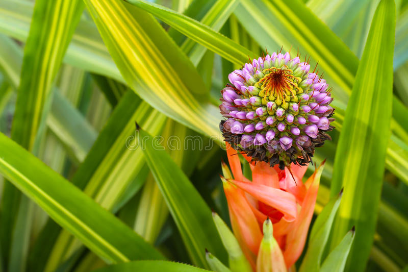 Kwitnąć Bromeliad Aechmea zdjęcie royalty free