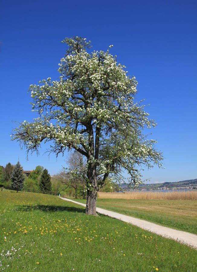 Kwitnąć chery footpath i drzewa zdjęcie stock