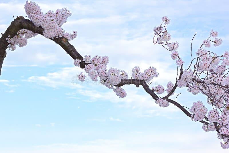 Kwitnąć czereśniową gałąź przeciw niebieskiemu niebu z chmurami zdjęcia royalty free