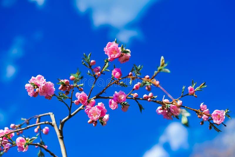 Kwitnąć drzewa przeciw niebu obraz royalty free