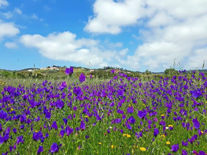 Kwitnąć dzikiej lawendy w wsi od Portugalia obraz stock