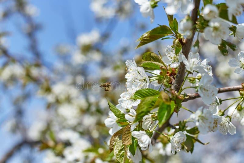 Kwitnąć gałąź drzewa w wiośnie z białymi kwiatami i pszczołami zbiera nektar obraz royalty free