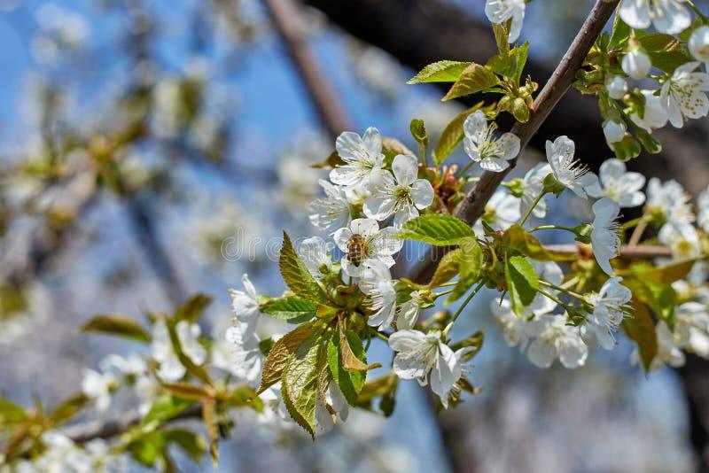 Kwitnąć gałąź drzewa w wiośnie z białymi kwiatami i pszczołami zbiera nektar obrazy royalty free