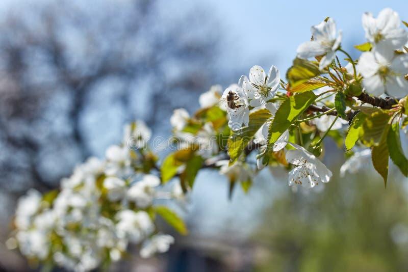 Kwitnąć gałąź drzewa w wiośnie z białymi kwiatami i pszczołami zbiera nektar obraz stock