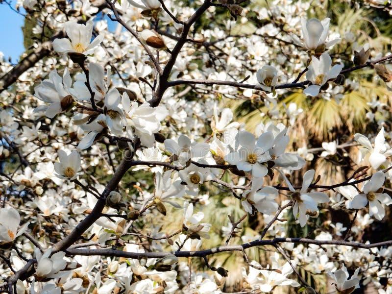Kwitnąć gałąź magnoliowy cobus fotografia royalty free