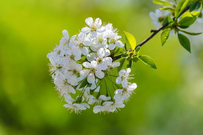 Kwitnąć gałęziastej wiosny piłki zieleni rozmytego tło fotografia royalty free