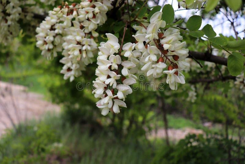 Kwitnąć grona akacja Miodowa wiosny roślina Zbiera nektar Gałąź czarna szarańcza, grochodrzewu pseudoacacia, fałszywy zdjęcie royalty free