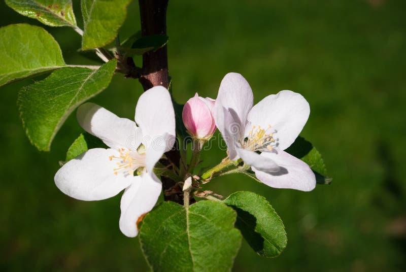 Kwitnąć jabłka, kwiatonośny jabłko z bliska Wiosny słoneczny backgr fotografia royalty free