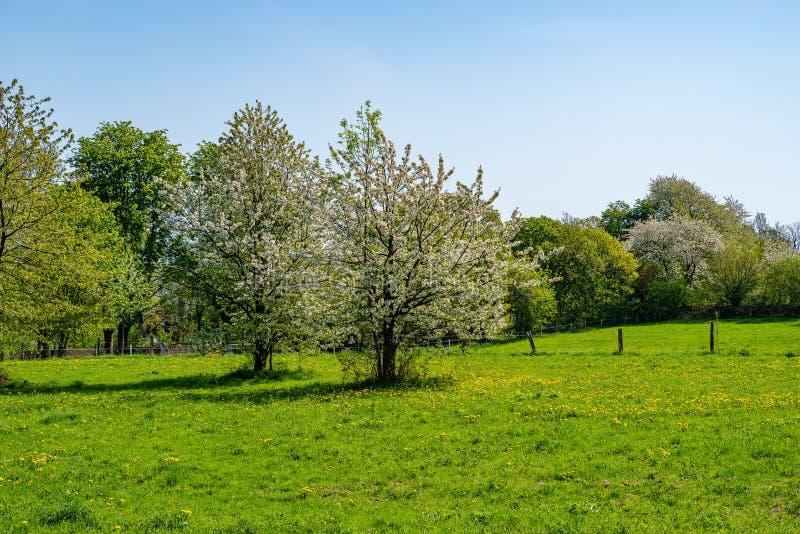 Kwitnąć jabłoni na łące z żółtymi kwiatami zdjęcie royalty free