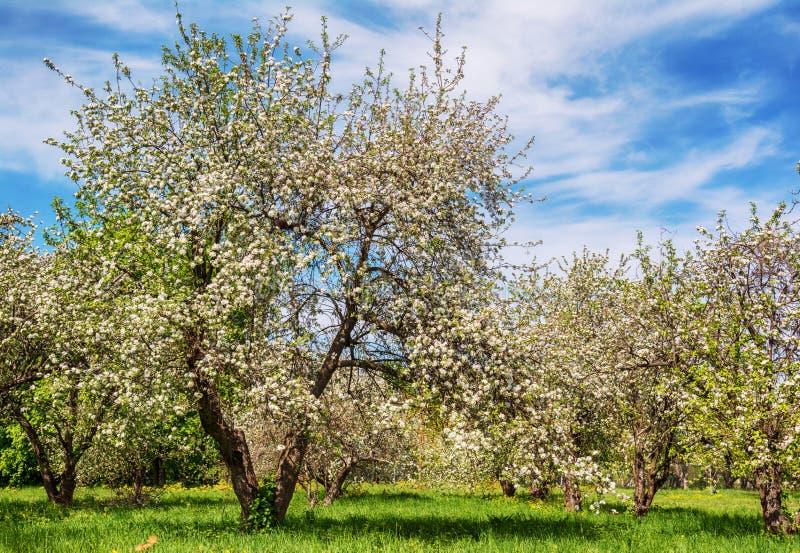 Kwitnąć jabłoni w wiosna ogródzie obraz royalty free