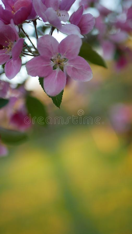 Kwitnąć jabłoni z jaskrawymi menchiami kwitnie na tle zielona trawa zdjęcie royalty free