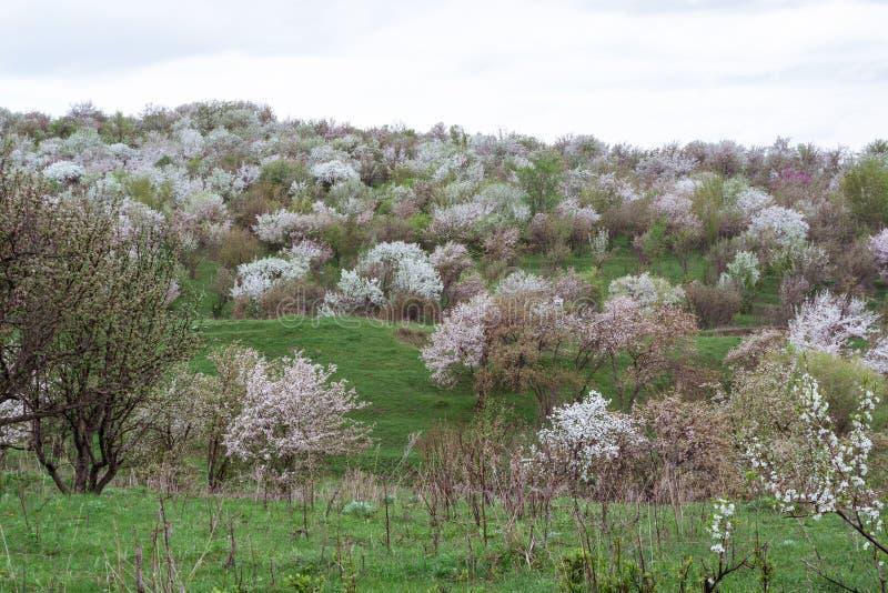 Kwitnąć jabłonie Natura w Tekeli fotografia stock