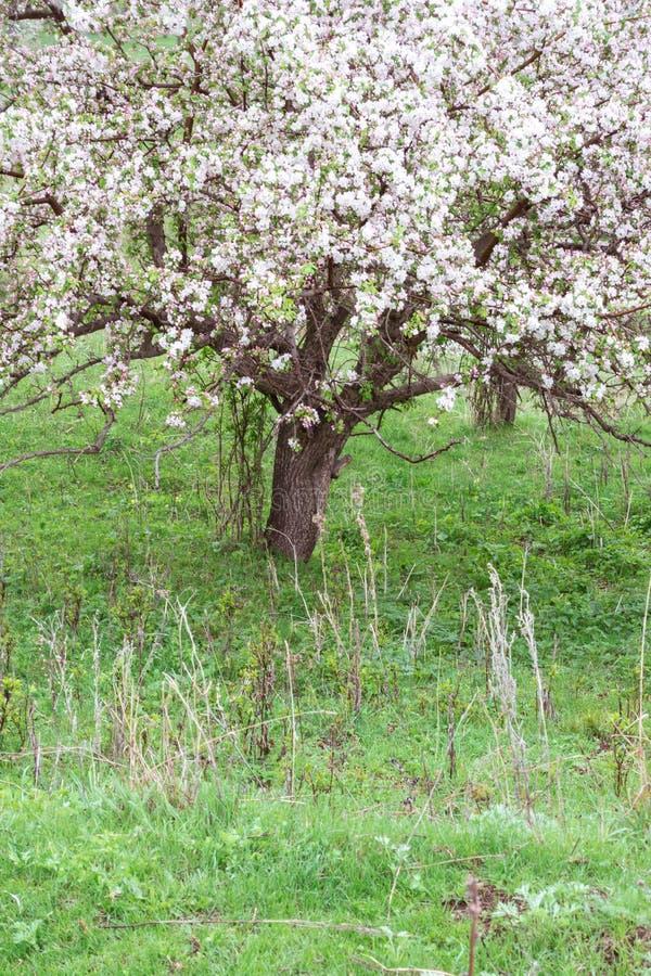 Kwitnąć jabłonie Natura w Tekeli zdjęcie royalty free