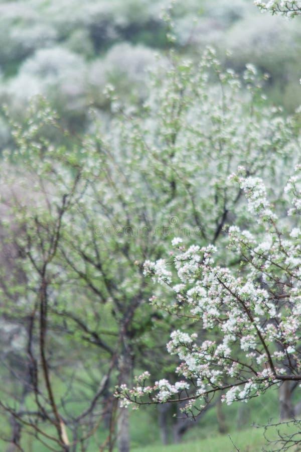Kwitnąć jabłonie Natura w Tekeli Wiosna kazakhstan zdjęcie stock