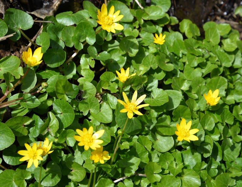 Kwitnąć jaskier wiosnę & x28; Ficaria verna Huds & x29; zdjęcie royalty free