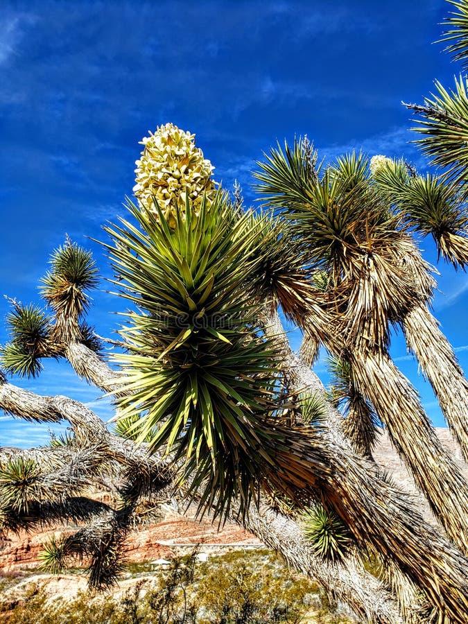 Kwitnąć Joshua drzewa przy Dziewiczym Rzecznym jaru obozowiskiem, Dziewiczy Rzeczny wąwóz, Arizona zdjęcia stock