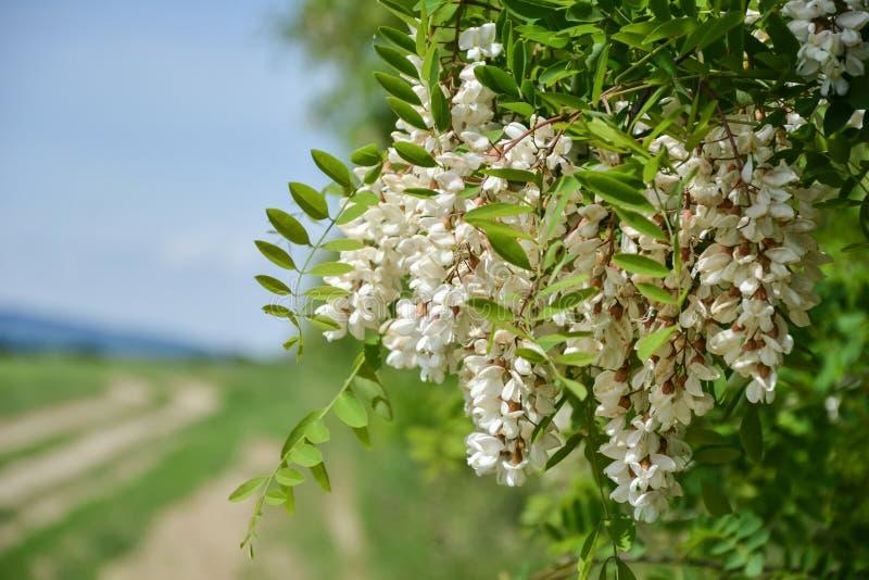 Kwitnąć kwiaty czarna szarańcza & x28; Grochodrzewu pseudoacacia& x29; wieszać na gałąź w wiośnie obraz stock