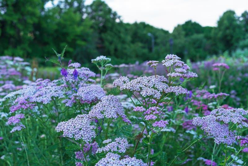 Kwitnąć kwiaty krwawnik Krwawnik od Astrov rodziny, używać jako lecznicza, korzenna, ornamentacyjna i miodowa roślina, zdjęcie stock