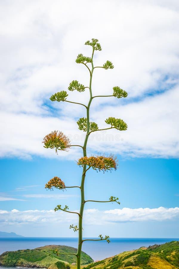 Kwitnąć kwiaty wiek roślina w Guadeloupe zdjęcia stock