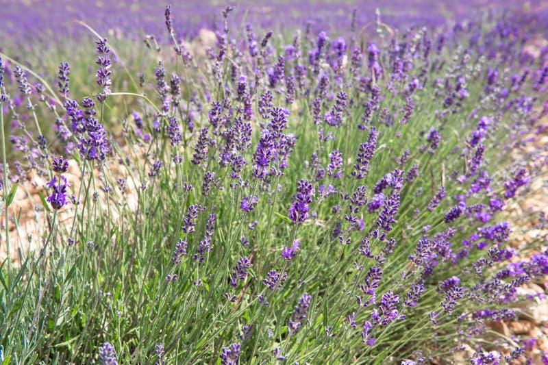 Kwitnąć lawendowi kwiaty w Valensole fotografia stock