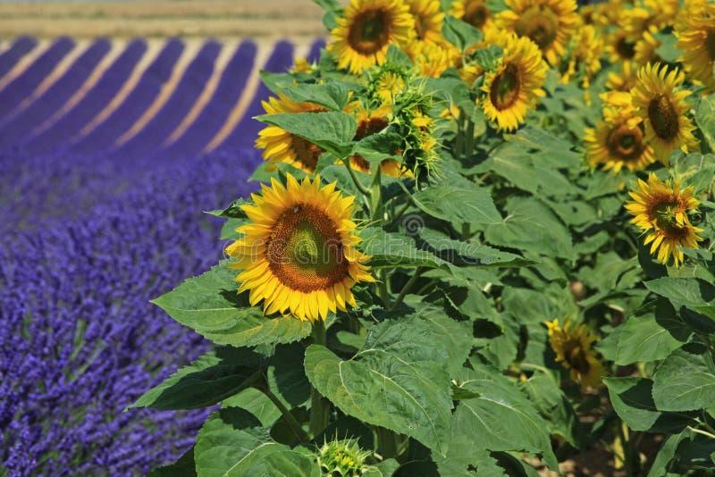 Kwitnąć lawendy i słonecznikowych poly, Valensole, Provence zdjęcia royalty free
